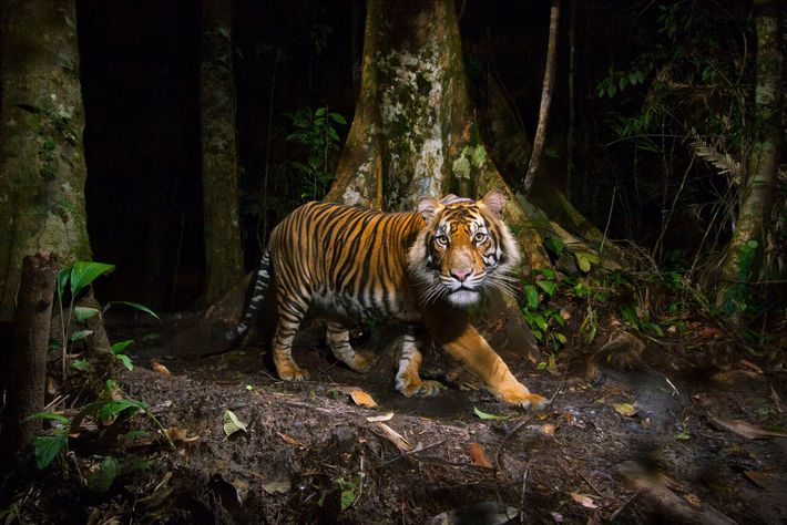 The Sumatran tiger (Panthera tigris sumatrae) is a critically endangered species, threatened by habitat loss and ...