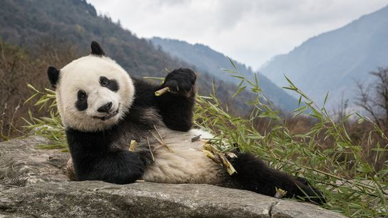 In het 'Chengdu Research Base of Giant Panda Breeding Center' in China eet een reuzenpanda een ...