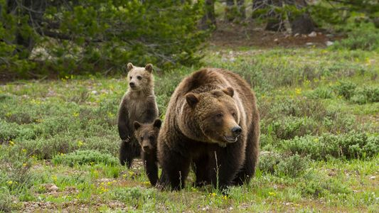 Jacht op Yellowstone-grizzly's toegestaan