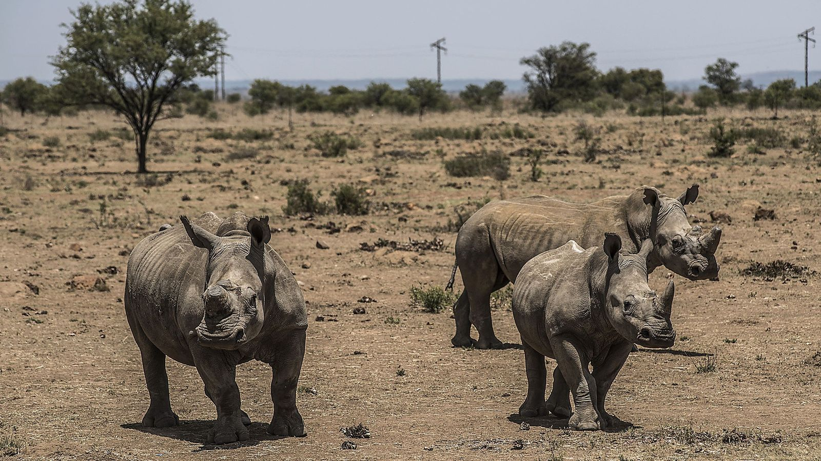 01-rhino-horn-trade-south-africa