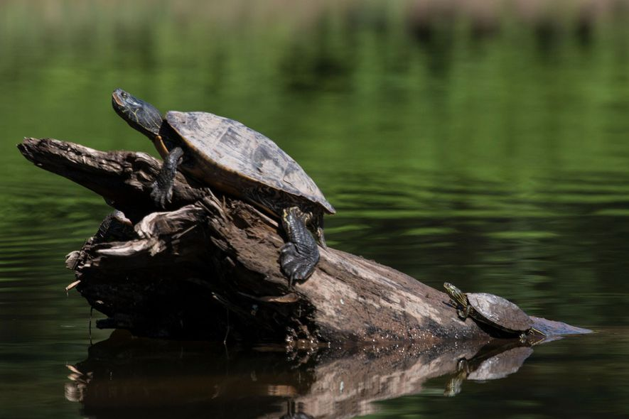 A female (left) and male common map turtle bask in the sun.