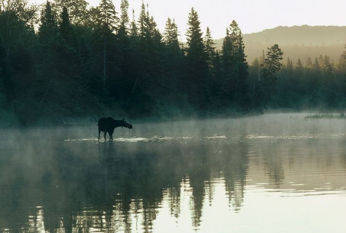 A female moose wades across a lake in Isle Royale National Park, Michigan.