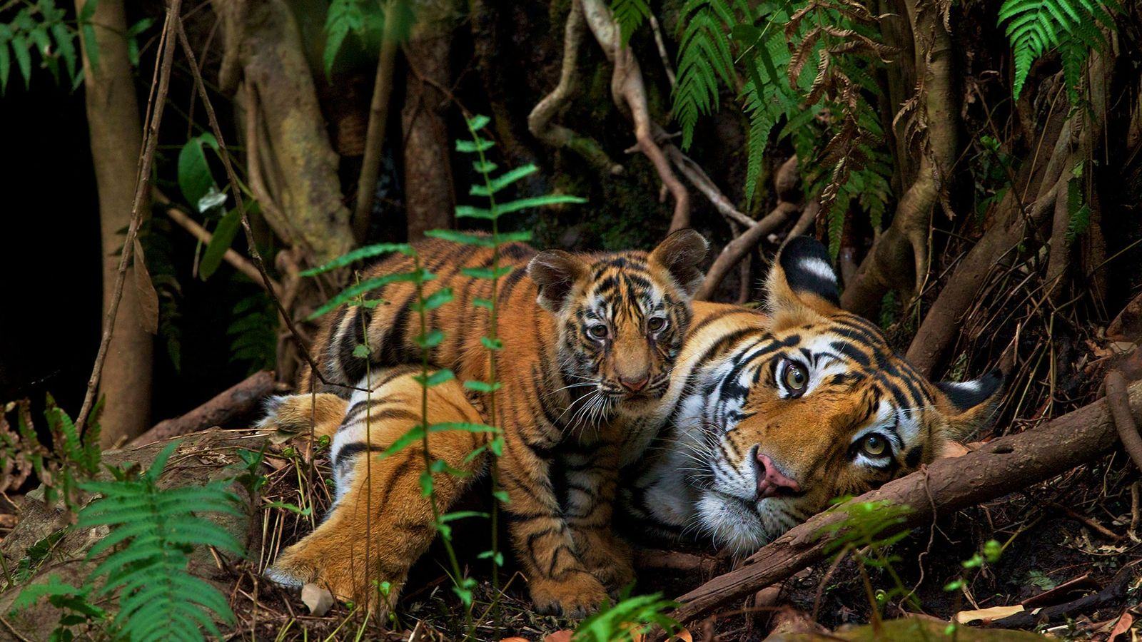 A mother rests with her two-month-old in Bandhavgarh National Park, where—contrary to the global trend—managers have ...