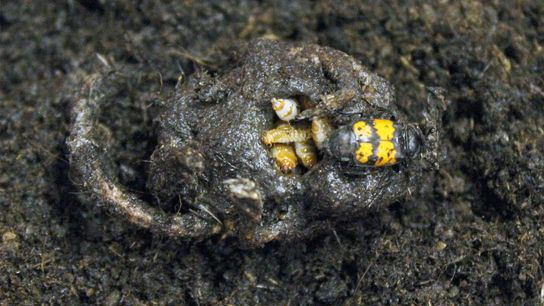 A burying beetle tends to a corpse filled with its young.
