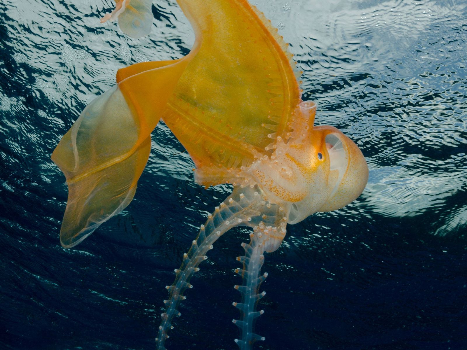 A female blanket octopus is dramatically larger than males, which put their energy into finding females ...