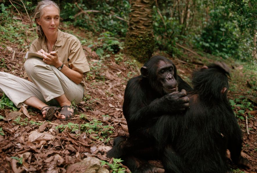 Jane Goodall observeert chimpansees in het Gombe Stream National Park in Tanzania (1990).