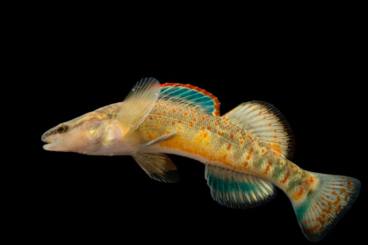 Kentucky-springbaars Etheostoma spilotum in de Conservation Fisheries in Knoxville, Tennessee.