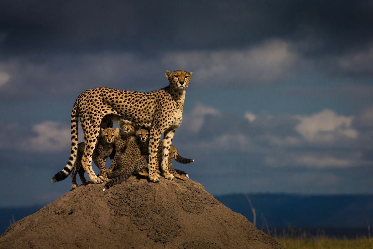 A female named Malaika guards her cubs in Kenya's Masai Mara National Reserve. After a lioness ...