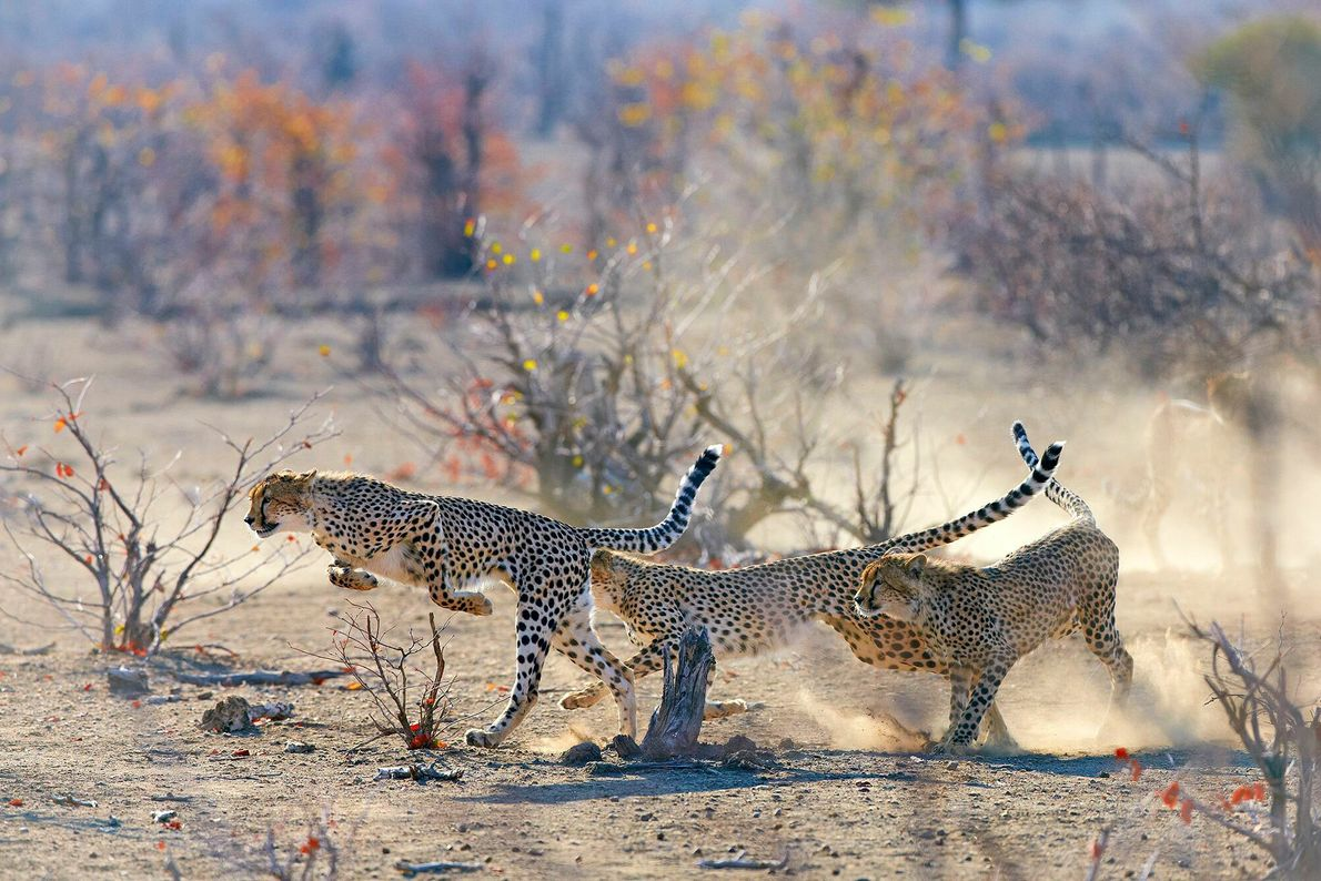 Three juvenile cheetahs bolt while their mother looks on in Botswana.