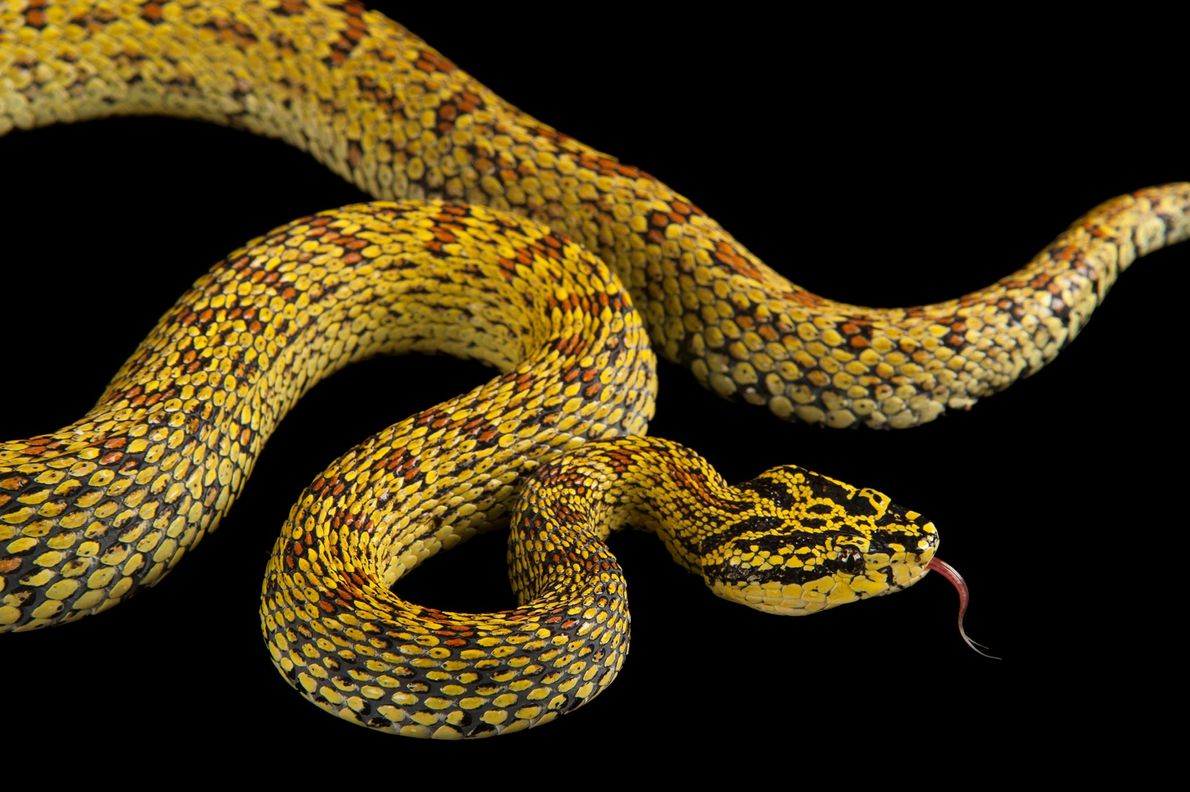 A red spotted pitviper, Trimeresurus jerdonii xanthomelas, at the Fort Worth Zoo.