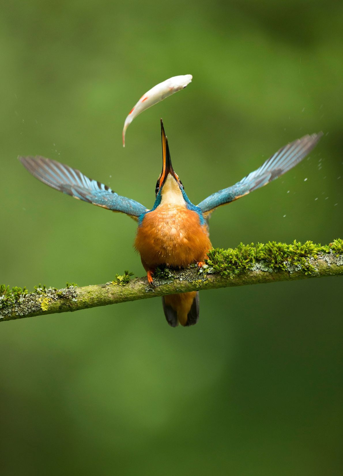 De Nature Photographers Ltd people's choice award ging naar deze foto van een ijsvogel (Alcedo atthis) ...