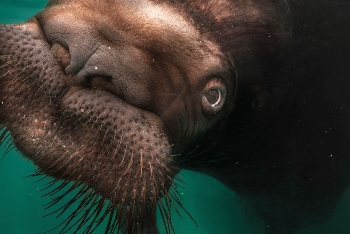 Picture of a walrus in a Japanese aquarium