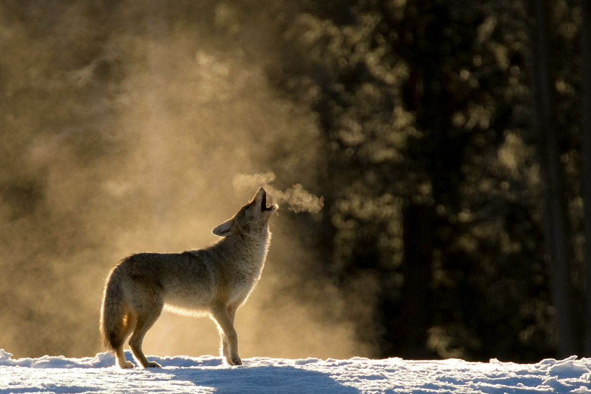 Picture of a coyote howling in Yellowstone National Park