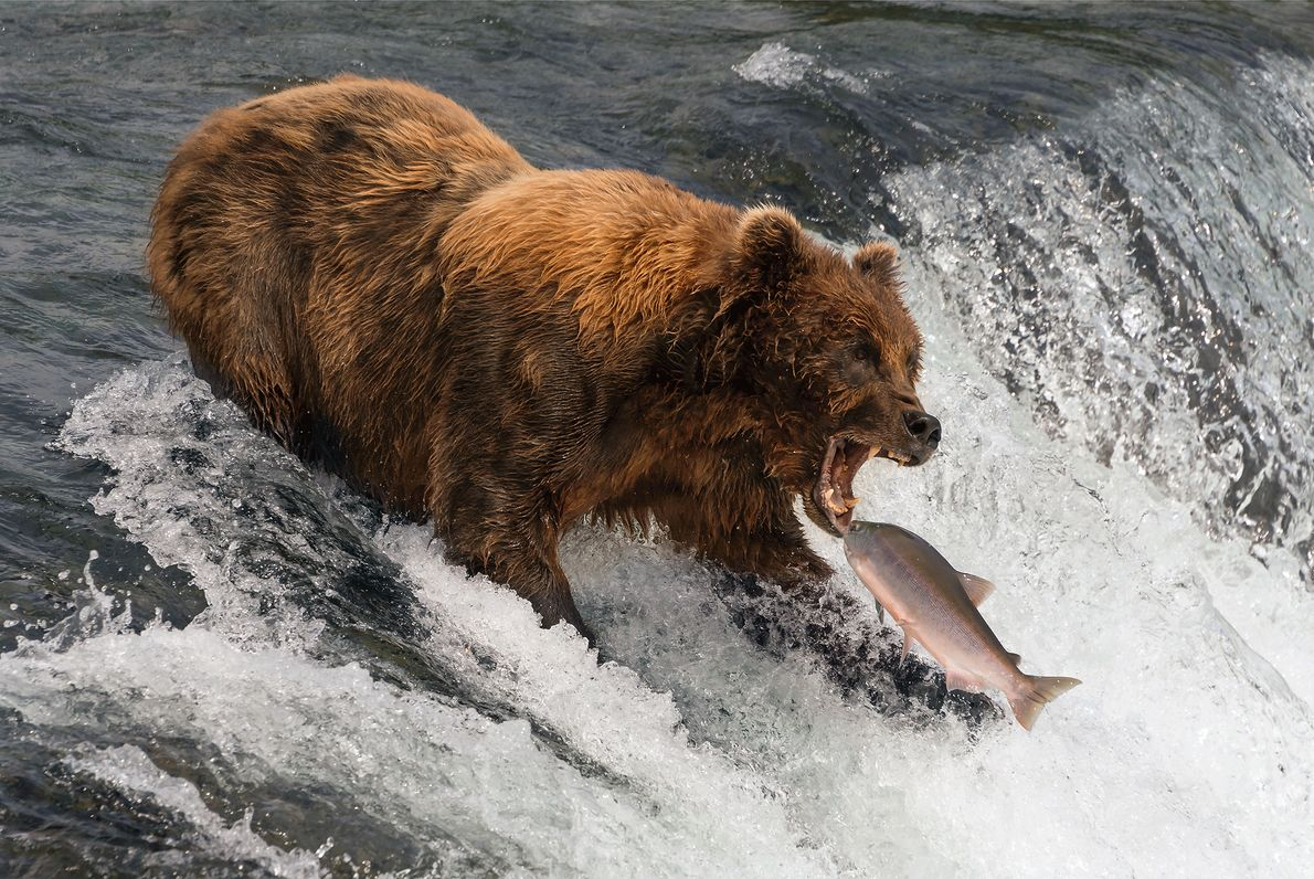 Picture of a salmon jumping into a bear's mouth in Alaska