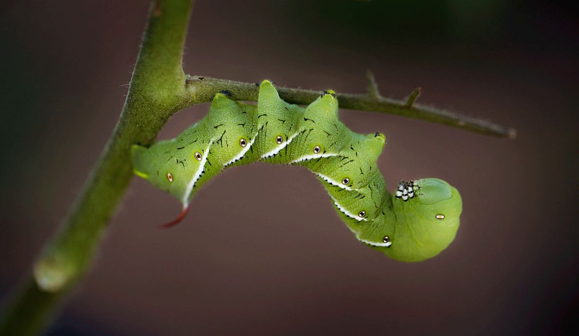 Picture of a tomato horn worm