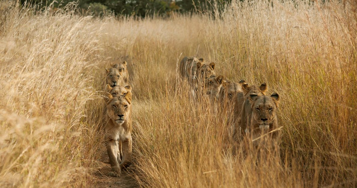 Picture of lions walking in two lines through tall grass in Zambia