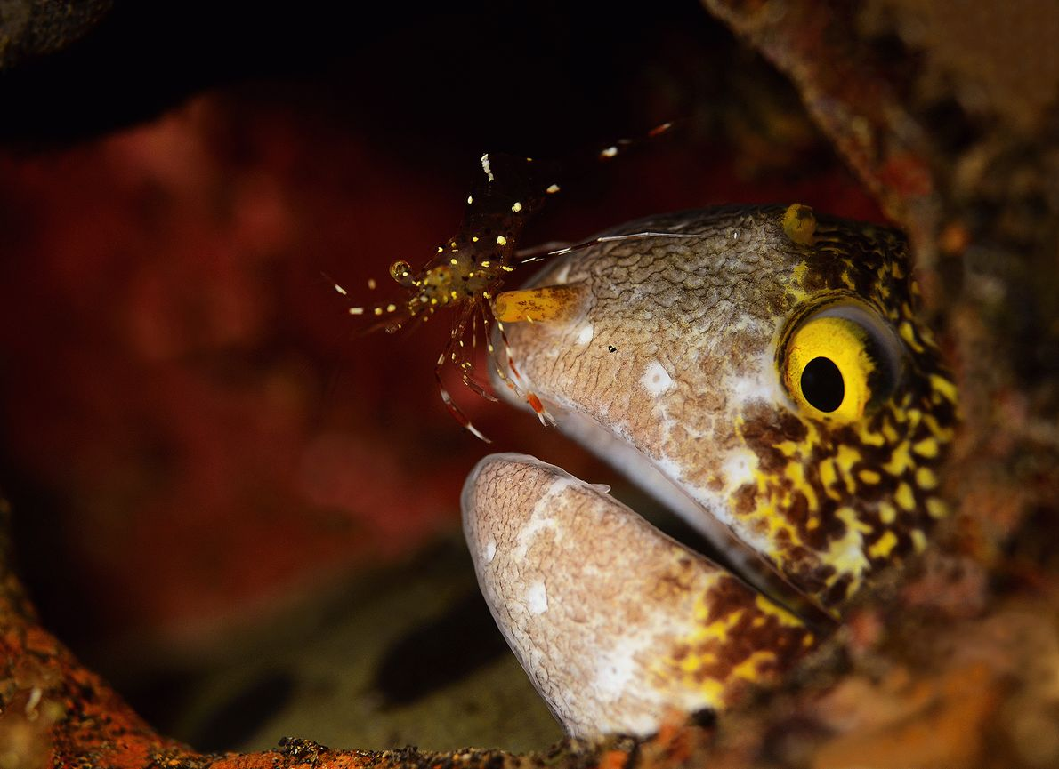 Picture of a cleaner shrimp on a moray eel