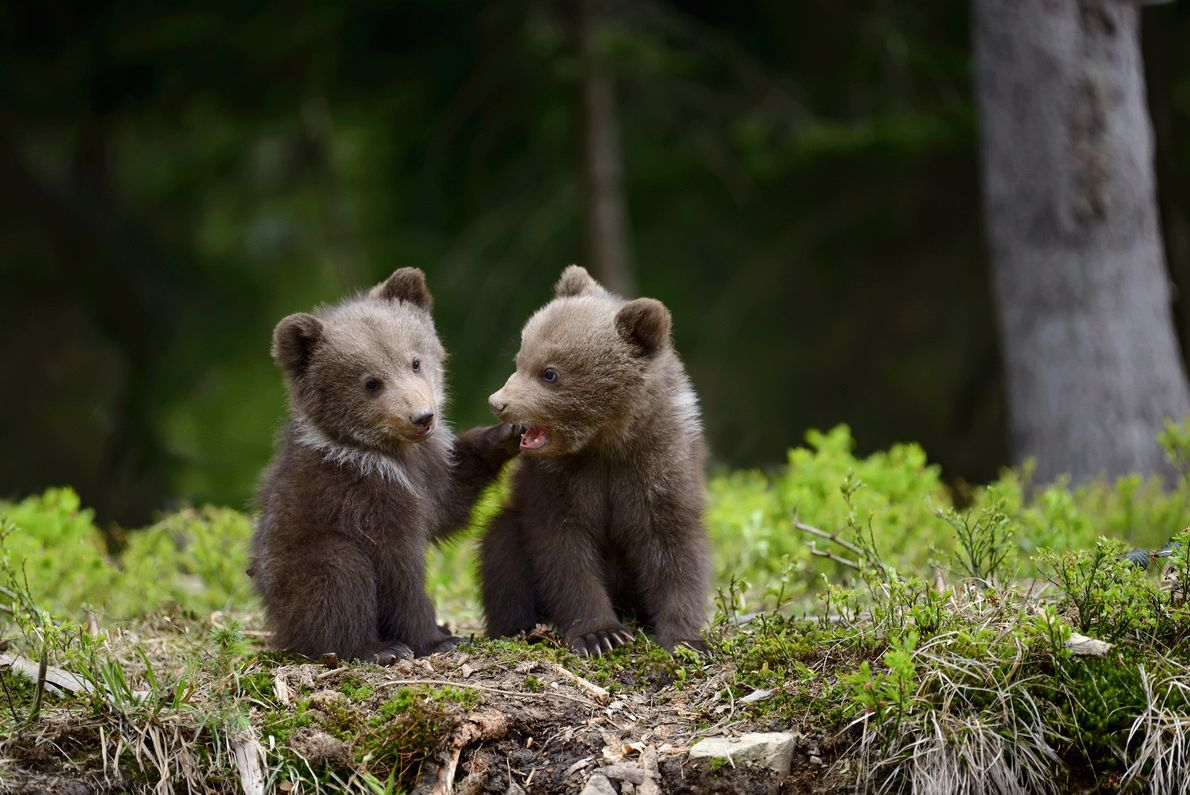 Picture of two brown bear cubs in Ukraine