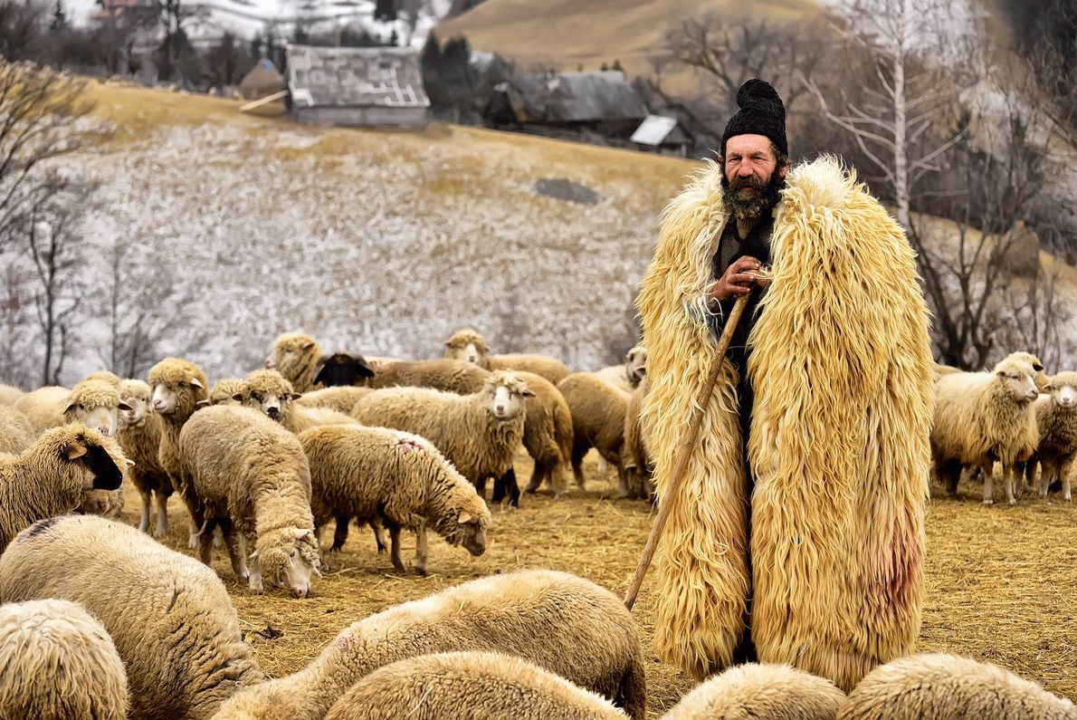 Picture of a shepherd in a fur coat with his flock in Transylvania