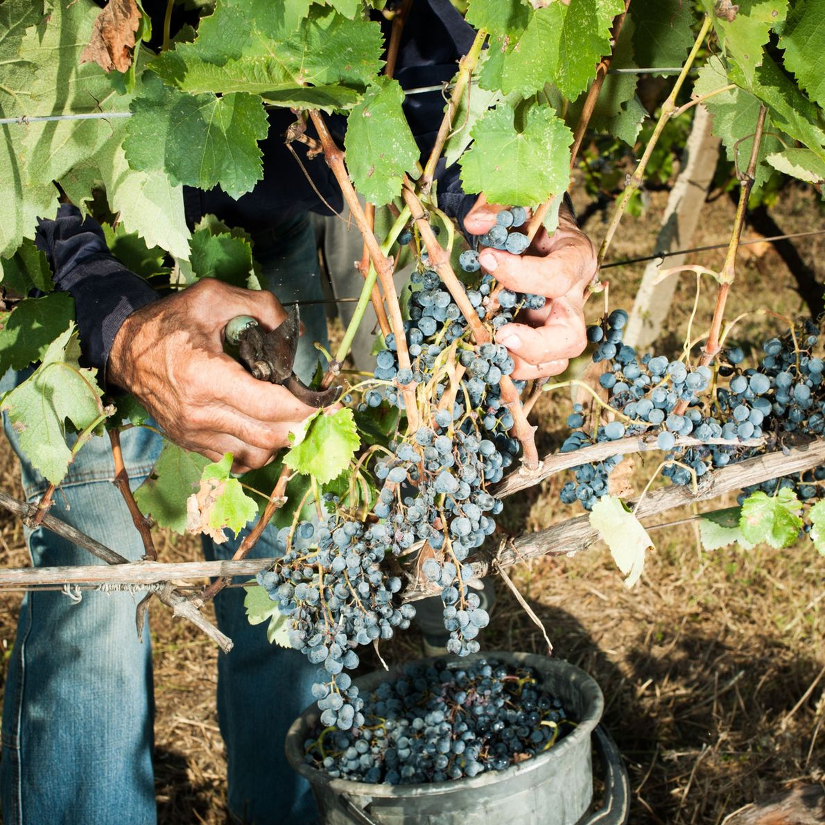 The wine grape may have originated at the foot of the Caucasus Mountains in Georgia, which ...