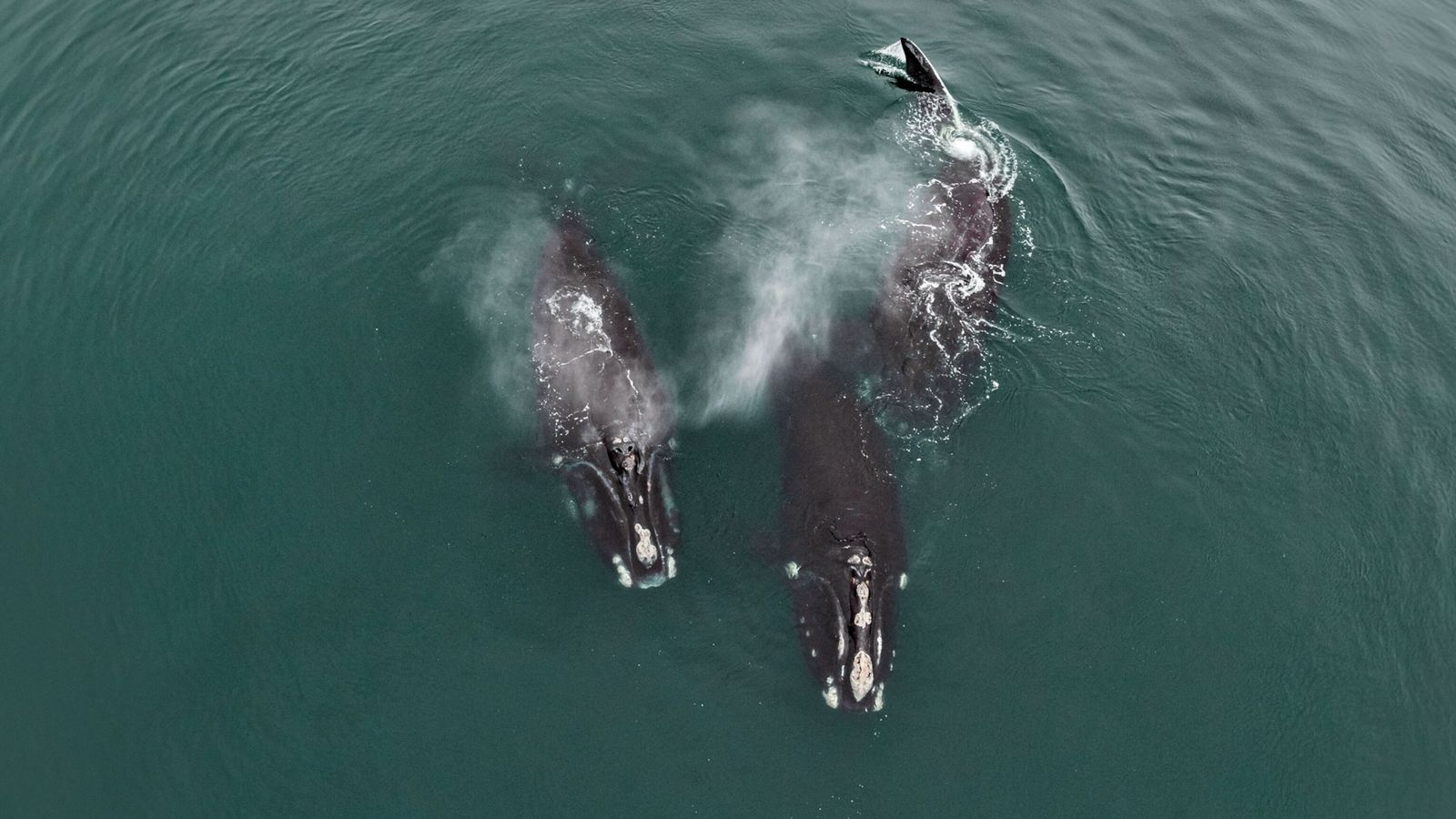 right whale skerry