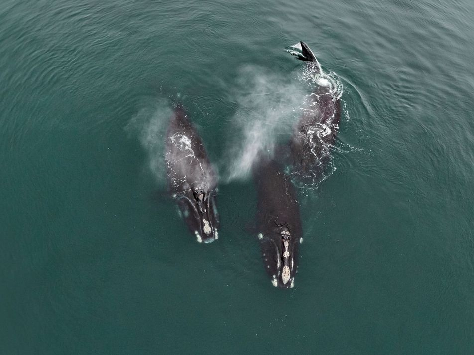 Rare footage shows endangered whales 'hugging'