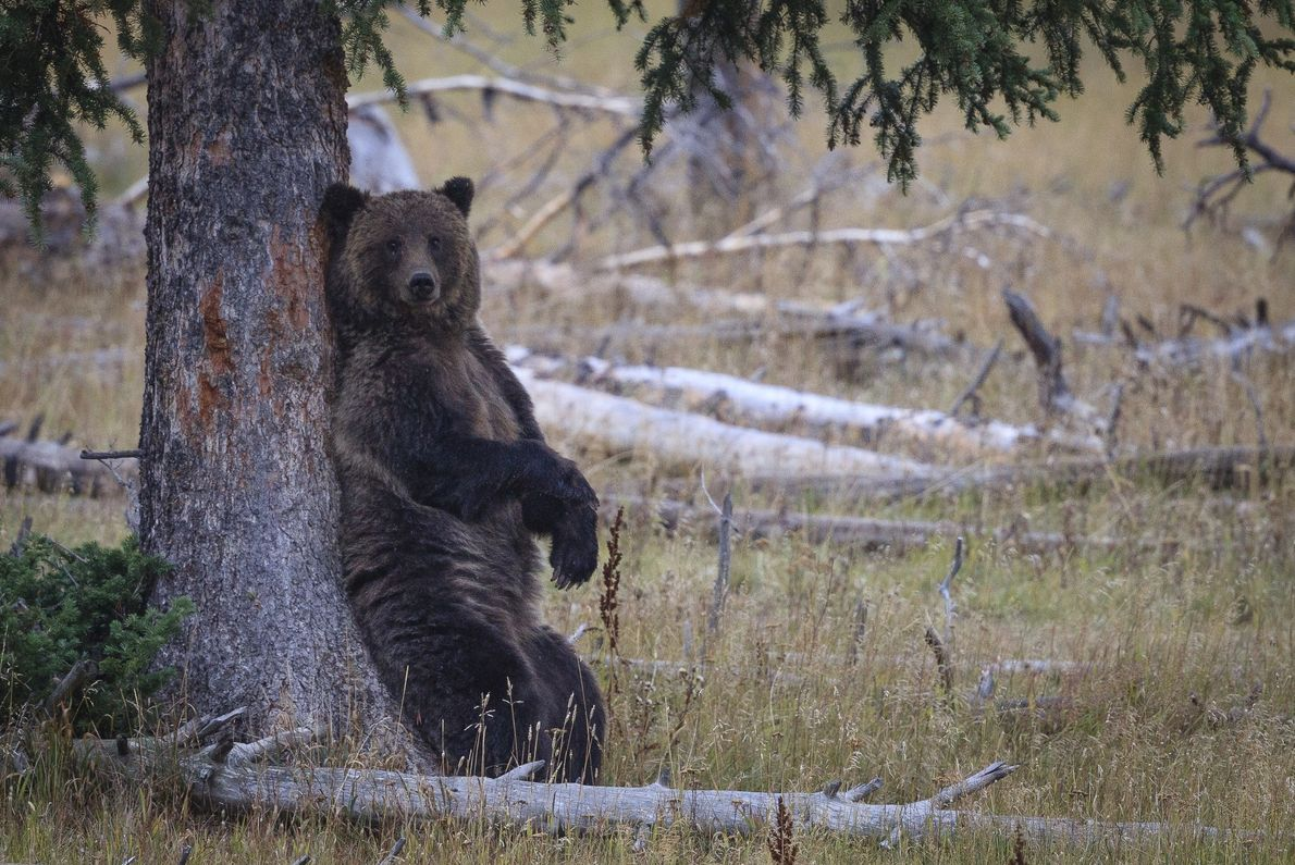 Grizzlybeer in West-Yellowstone (Montana), VS