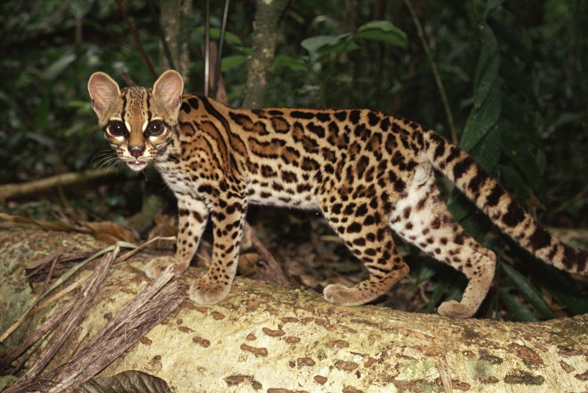 The margay (Leopardus wiedii), or tree ocelot, displays huge eyes as it prowls through a forest ...