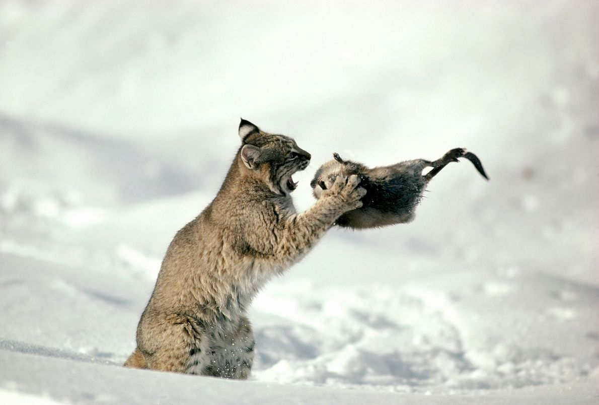 In a picture taken in 1997, a bobcat (Lynx rufus) gets ready to gobble down a ...