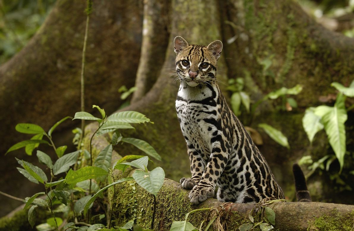 An ocelot (Leopardus pardalis) poses on a tree root in Ecuador's Amazon rainforest in 2004.