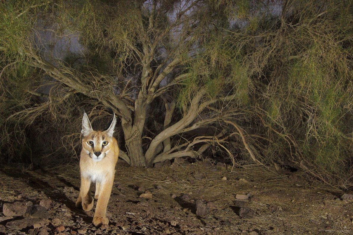 Photographer Frans Lanting caught a photo of this caracal (Caracal caracal) with a camera trap in ...