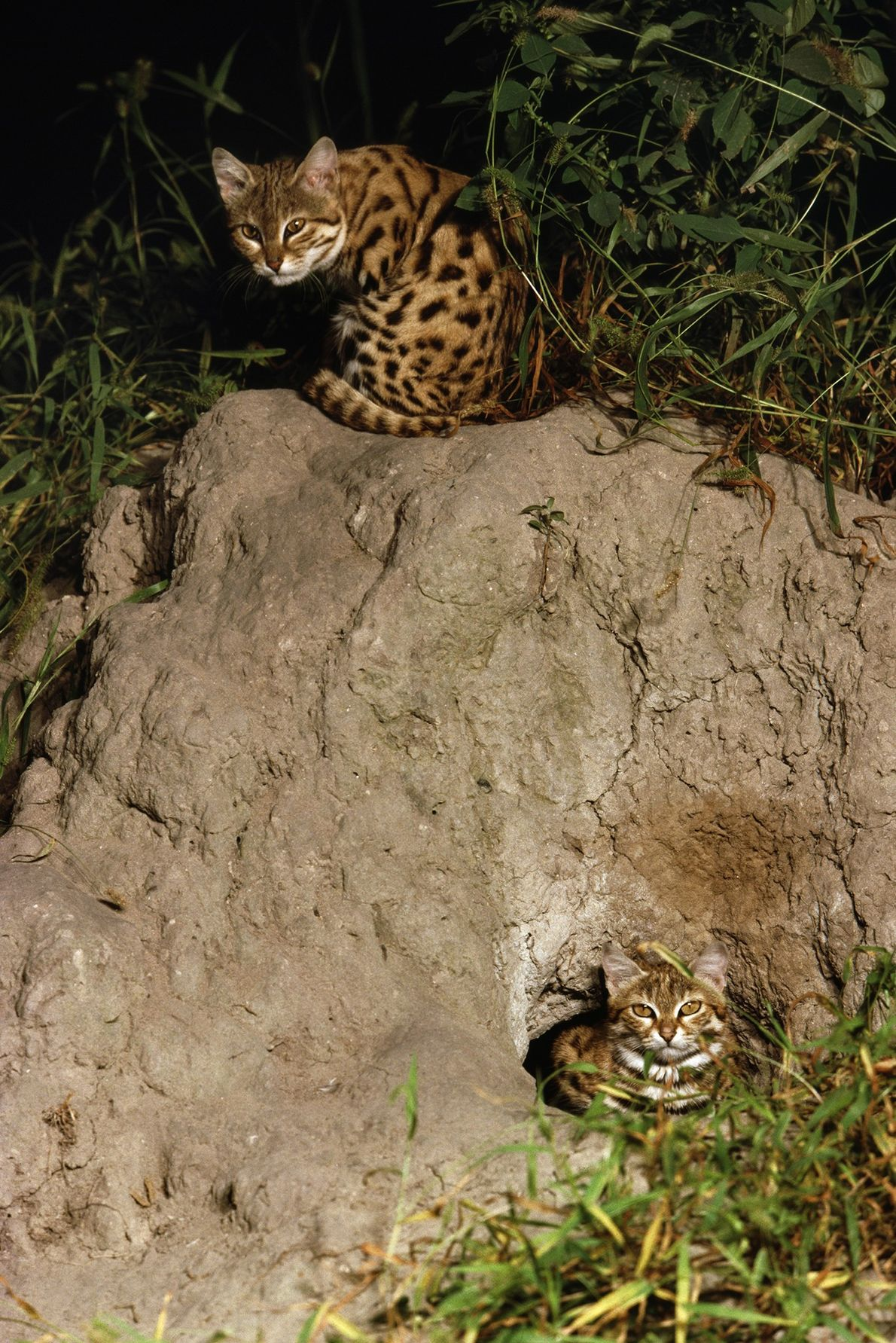 Black-footed cats (Felis nigripes) crouch at their burrow in the Okavango Delta, Botswana, in an image ...
