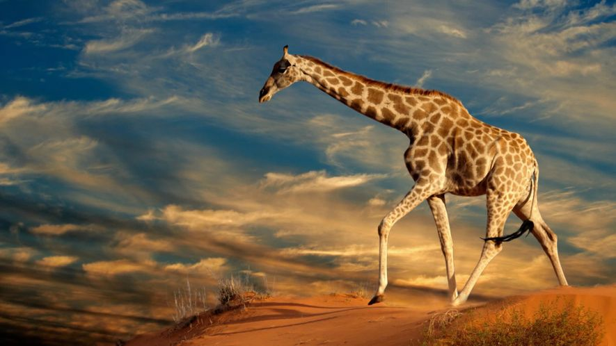 World Giraffe Day. 10 WEETJES OVER GIRAFFEN