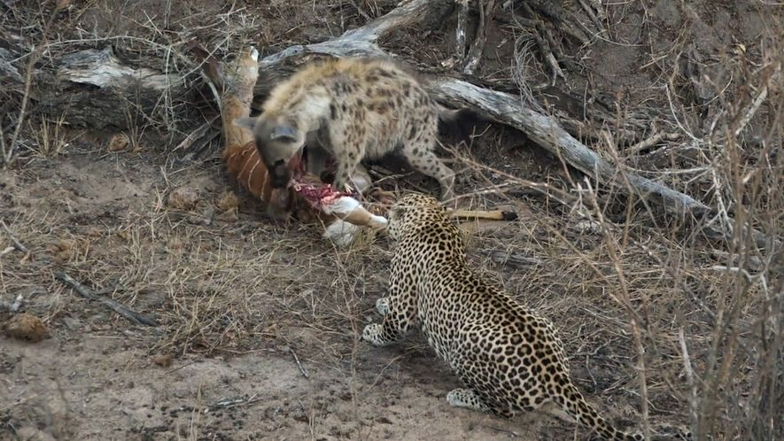NW_DLY_ds1802001_462_hyena_leopard_eat_together_op1_p181102_nl
