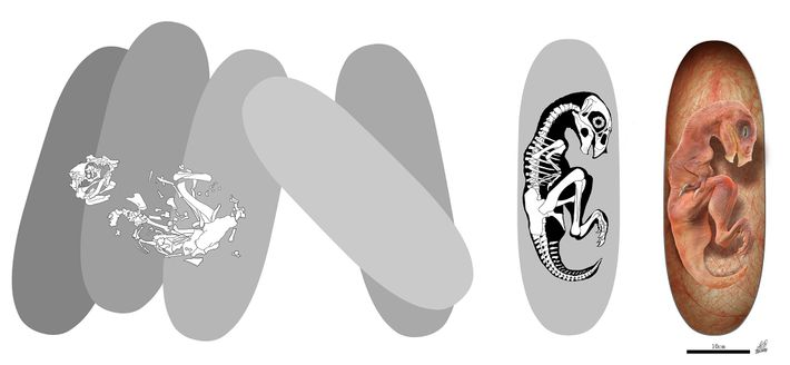 egg-fossil-embryo-reconnstruction