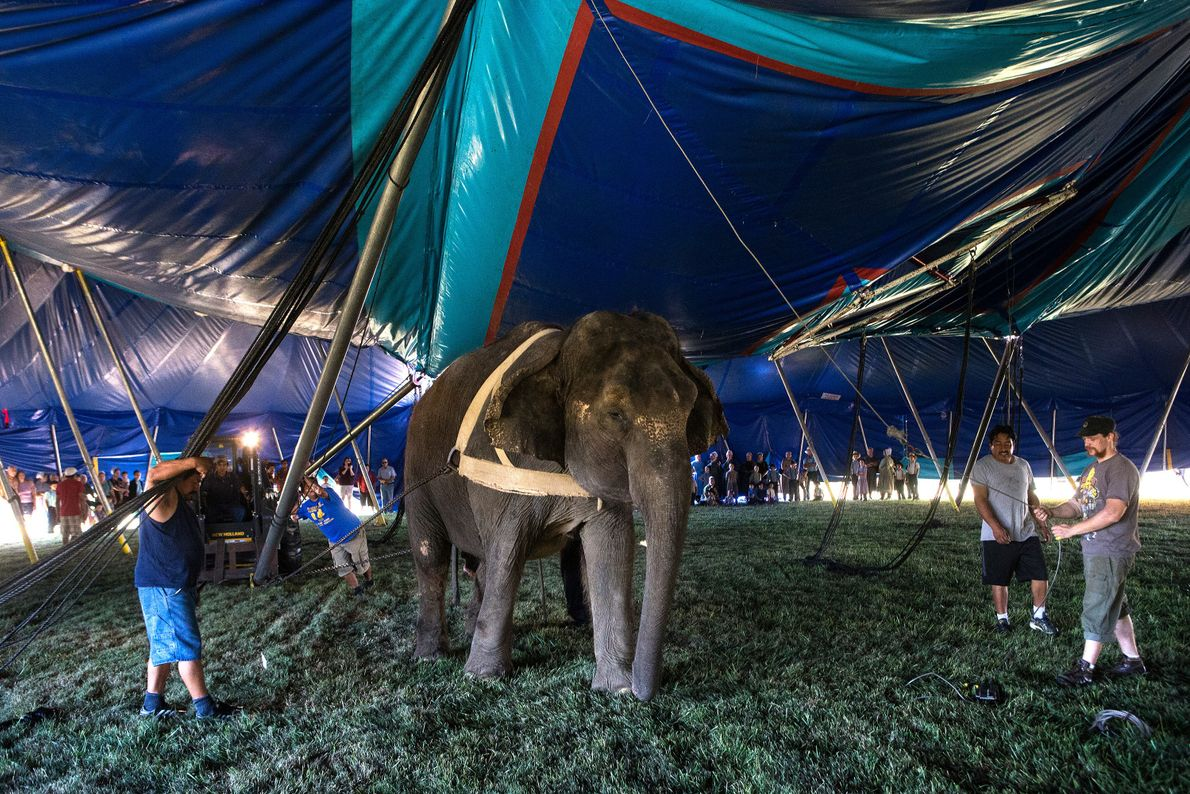 Each morning dozens of locals watch one of three elephants at the Kelly Miller Circus hoist ...