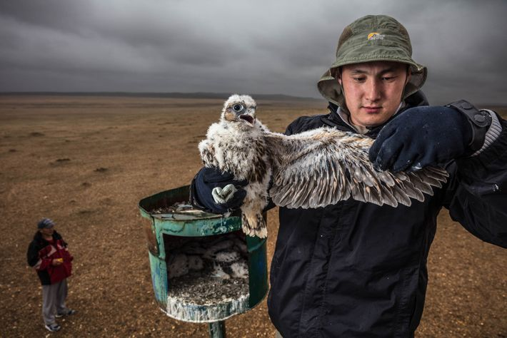 Batbayar Bold, a biologist with the Wildlife Science and Conservation Center of Mongolia, examines a saker ...