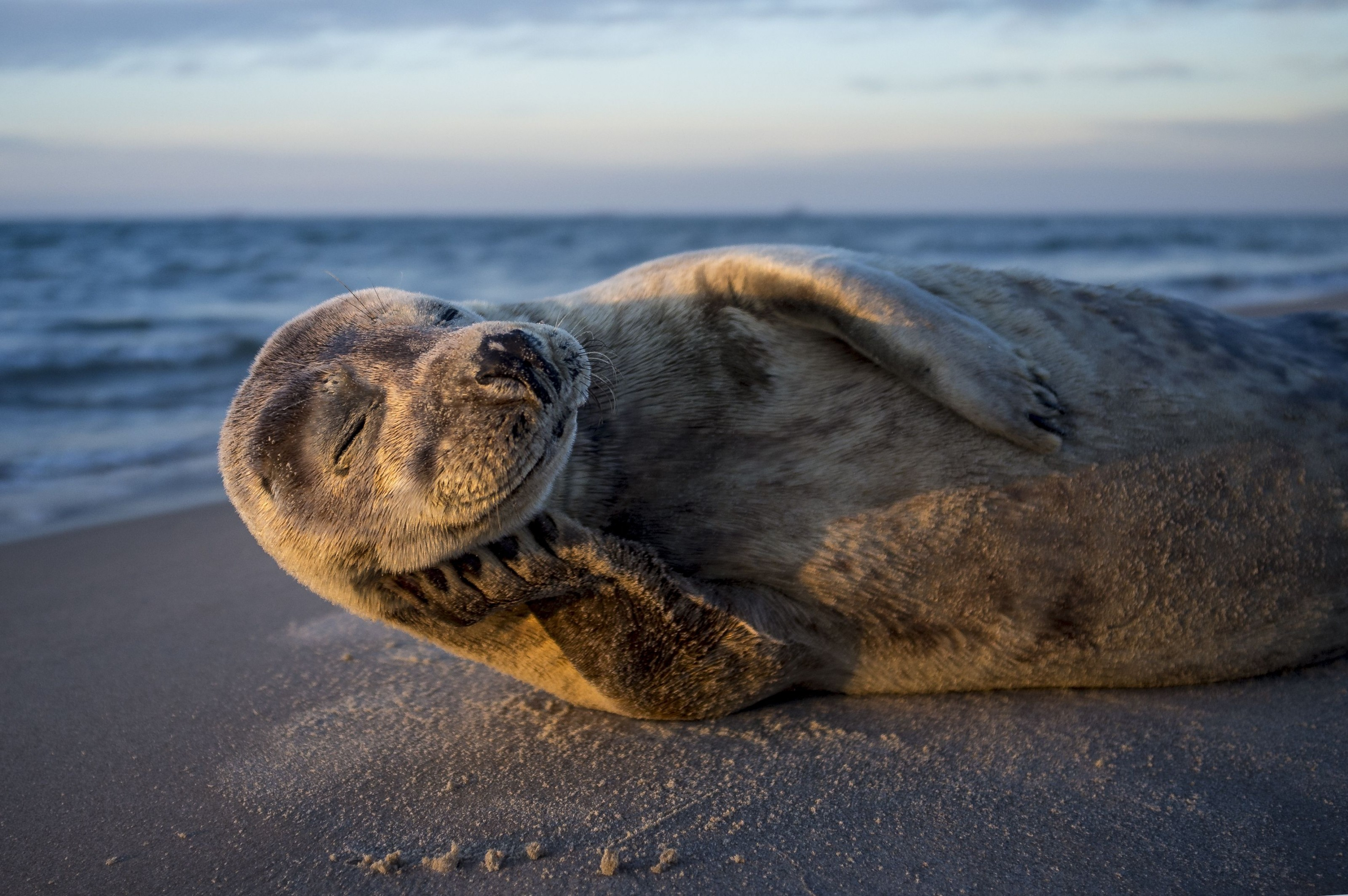 Picture of a seal basking in the sun in Denmark