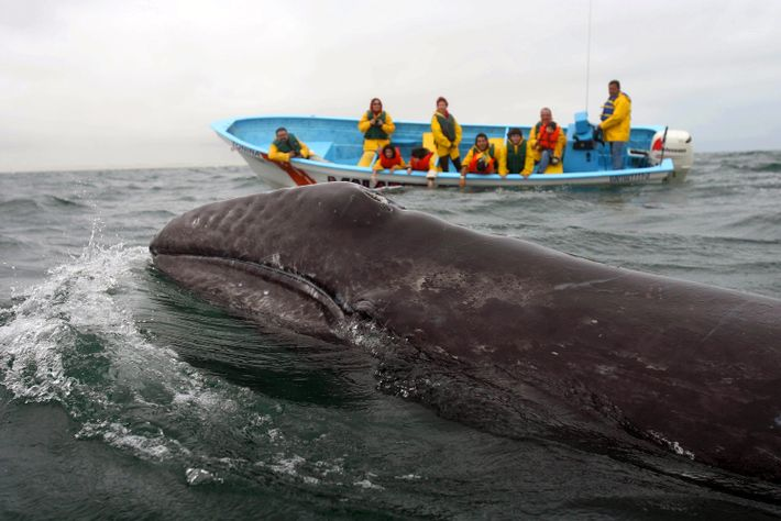 Every winter, thousands of gray whales migrate some 6,000 miles south to breeding grounds in Baja ...