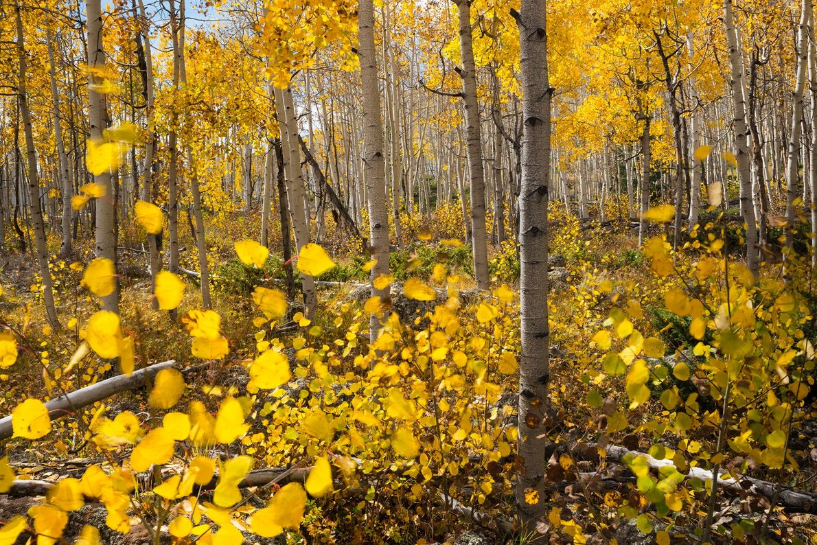 Pando Grove: Fishlake National Forest, Utah