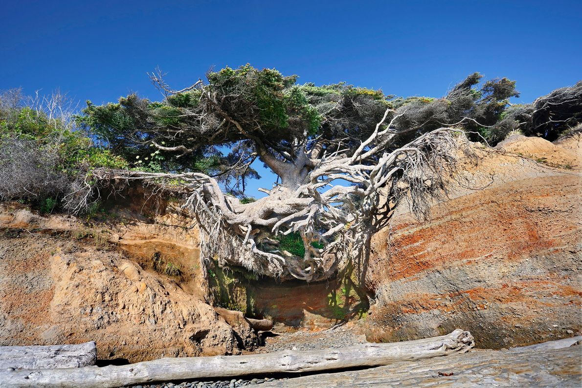 Kalaloch Tree Cave: Olympic National Park, Washington