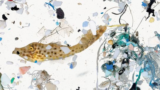 FISH NURSERIES OFF HAWAII ARE NOW A MICROPLASTIC MESS.
