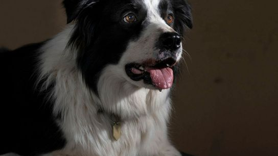 border collie smart dogs