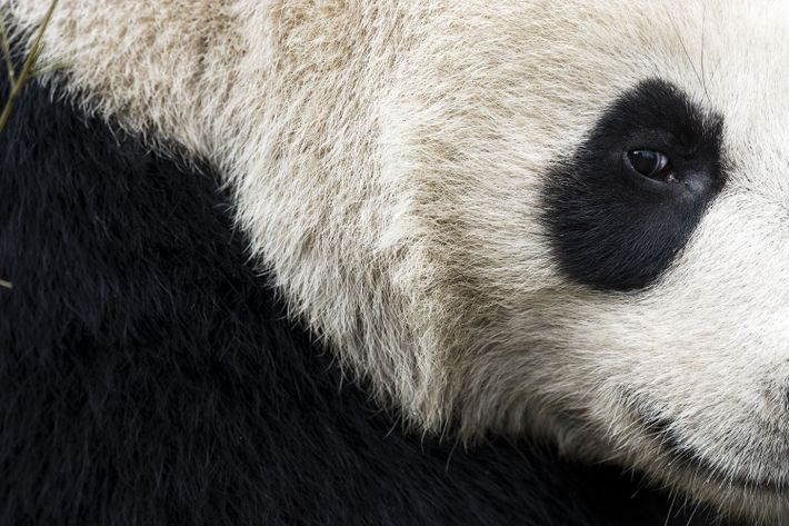 Deze panda werd gefotografeerd in het Chengdu Research Base of Giant Panda Breeding.