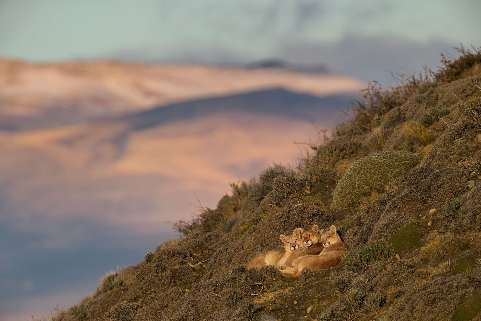 Pincushion shrubs and shards of rock don't trouble the puma known as Sarmiento, at center, or ...