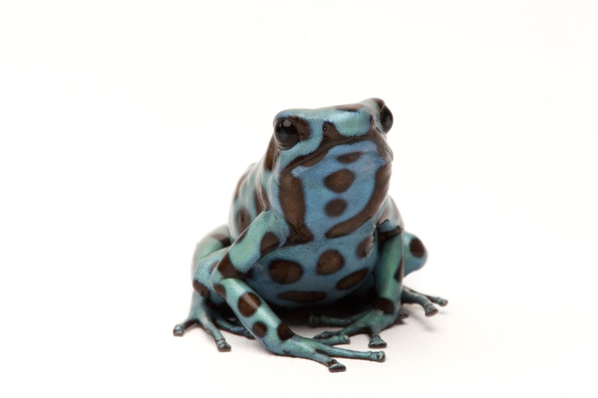 A green and black poison dart frog (Dendrobates auratus) photographed in Everett, Washington