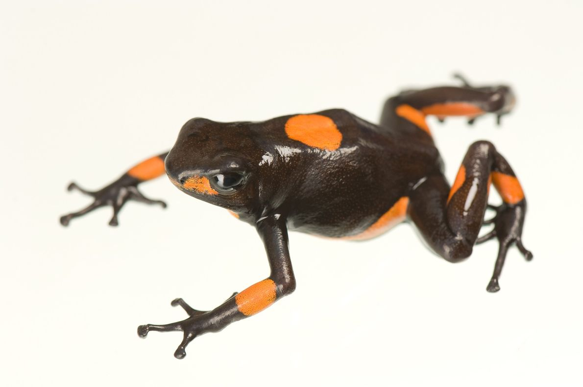 A harlequin poison frog (Oophaga histrionica) photographed at National Aquarium in Baltimore, Maryland