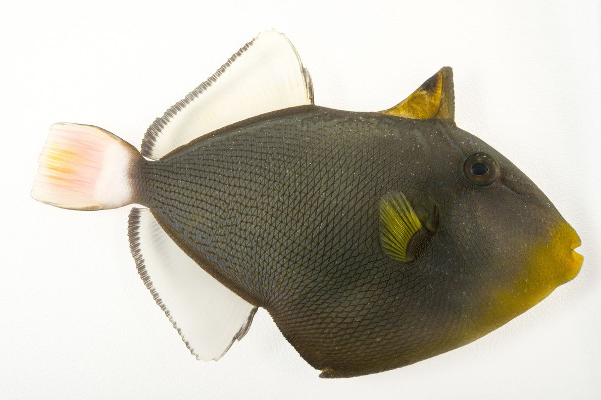 A pinktail triggerfish (Melichthys vidua) photographed at Pure Aquariums in Lincoln, Nebraska