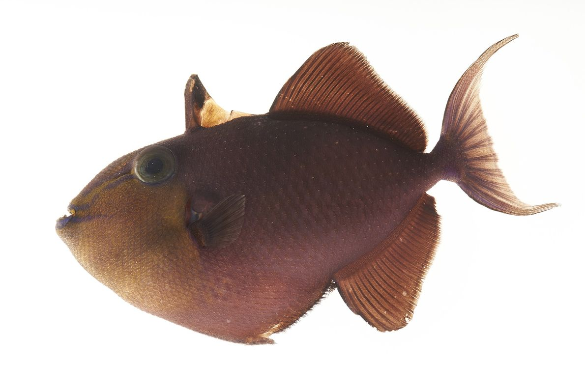 A redtoothed triggerfish (Odonus niger) photographed at Pure Aquariums in Lincoln, Nebraska