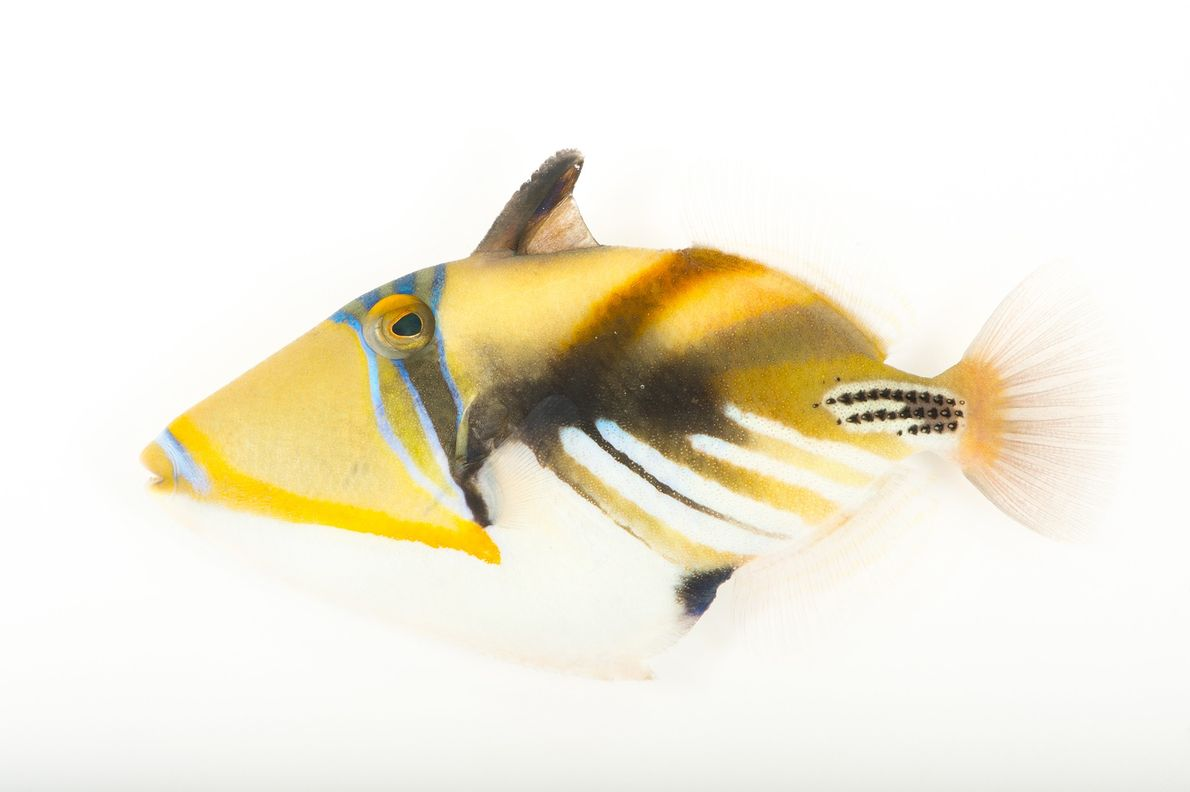A lagoon triggerfish (Rhinecanthus aculeatus) photographed at Pure Aquariums in Lincoln, Nebraska